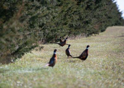 Ringneck Pheasants