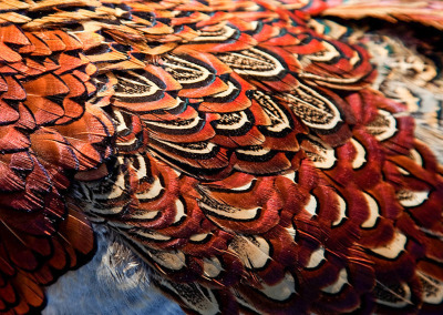 Pheasant close up